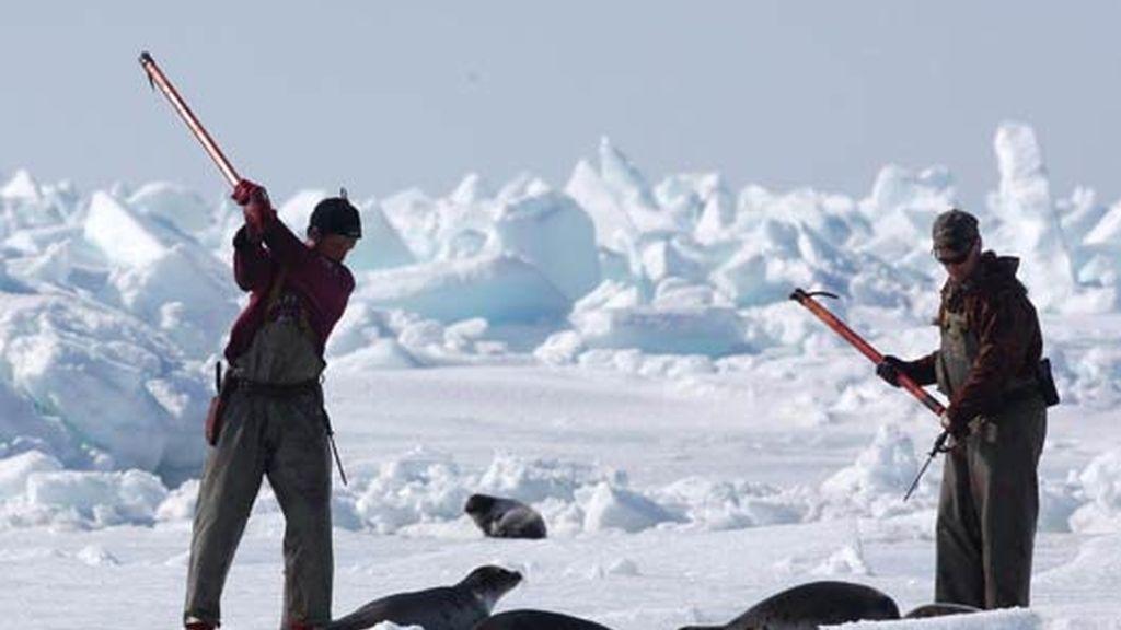 A la caza de la foca