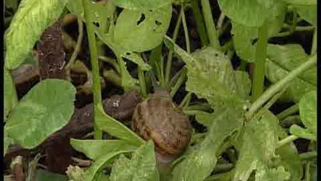 El sector de la cría de caracoles, en auge