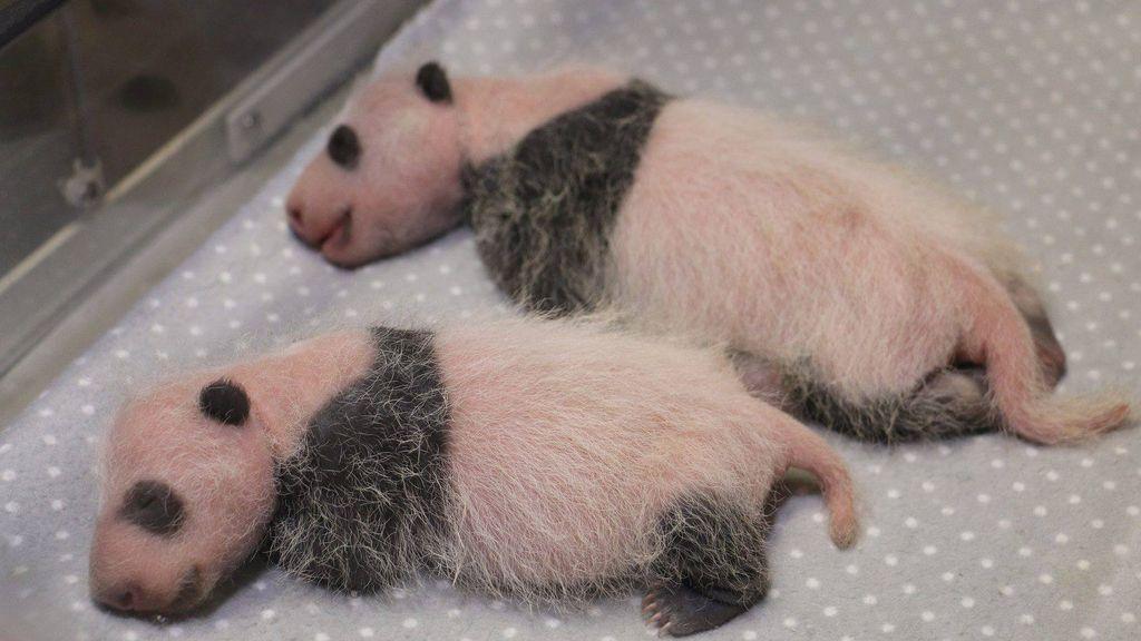 Osos panda gemelos nacidos en Toronto