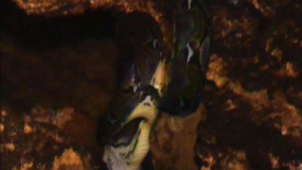 Una serpiente se come un murciélago
