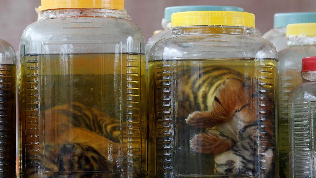 22 personas acusadas de tráfico de especies salvajes en la operación contra el Templo del Tigre