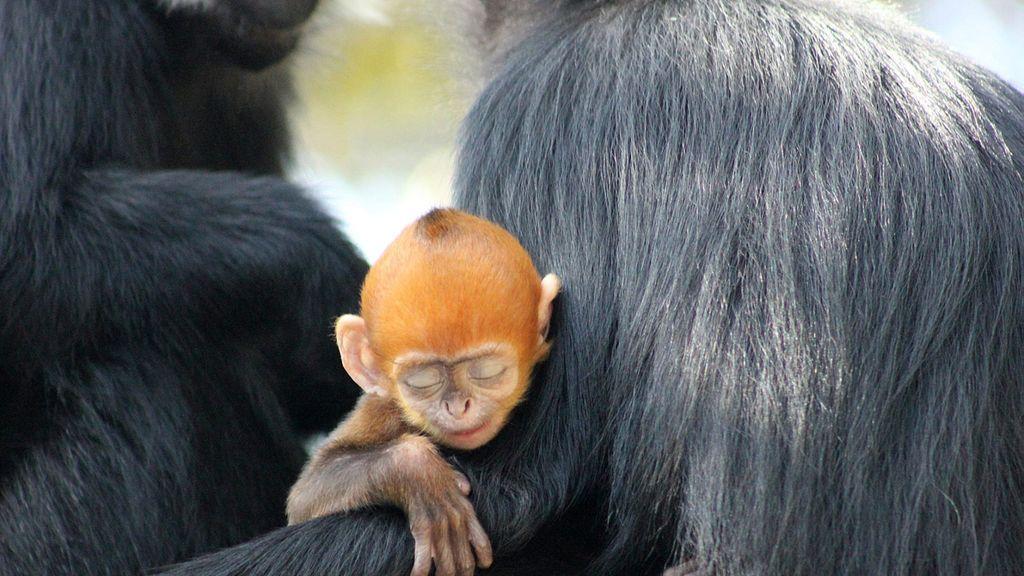 Una cría de Langur, uno de los monos más raros, nacida en Australia