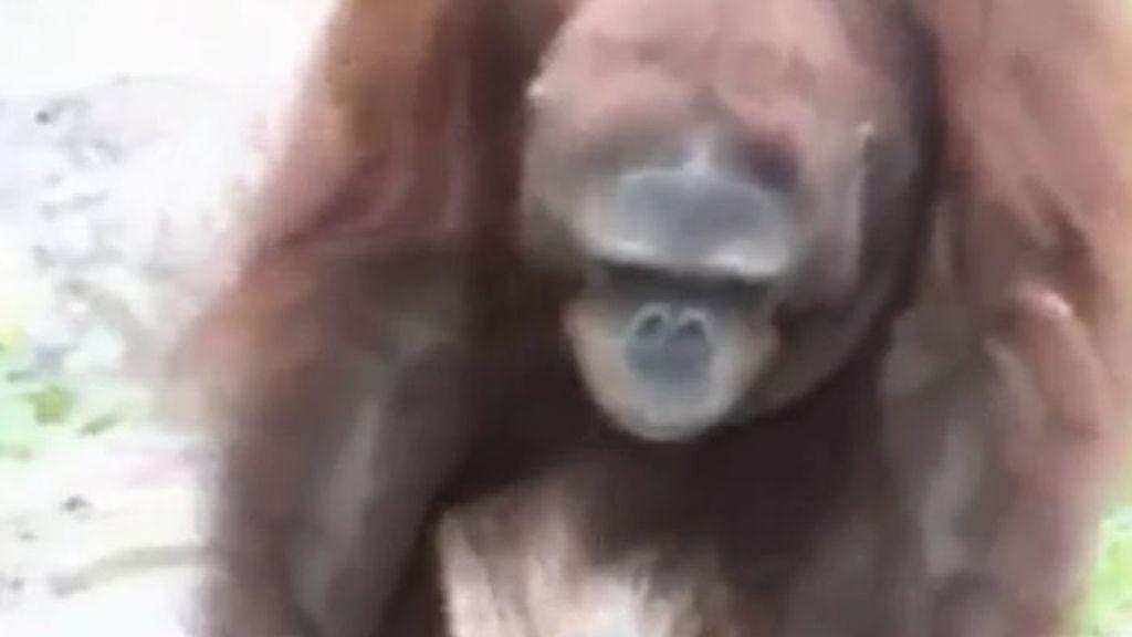 El orangután que salvó al pajarito
