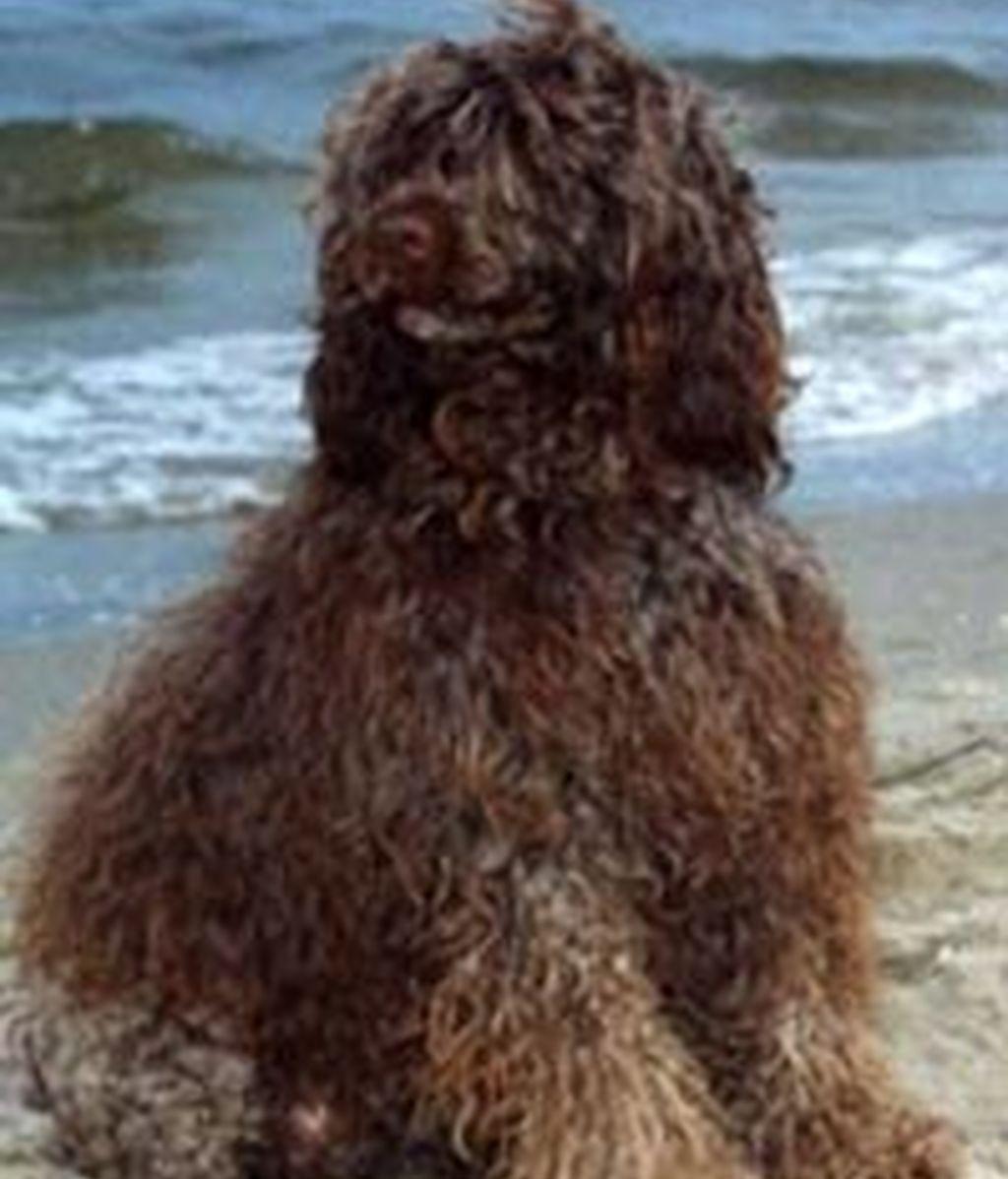 Un perro como éste podría ser la nueva mascota de los Obama.