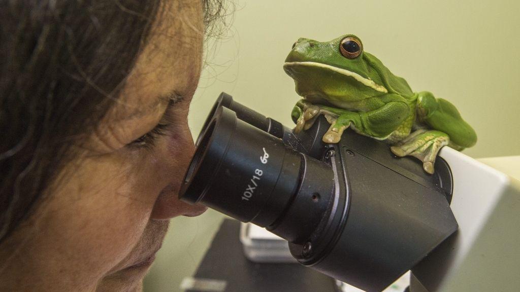 Hospital de ranas cairns, en Australia