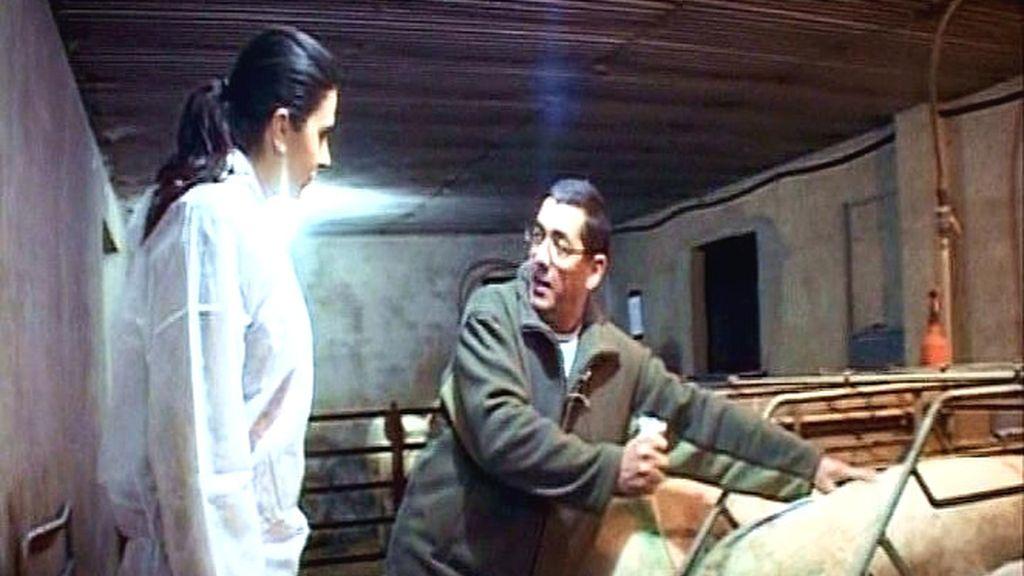 En la granja de madres EL GUIU, en Osona (Cataluña), inseminando una cerda