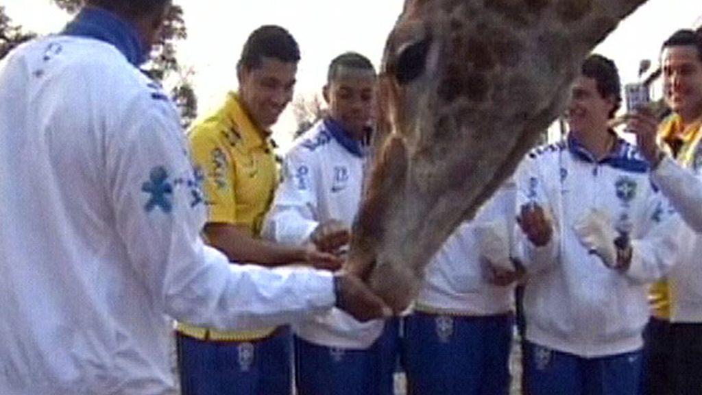 Brasil se va de safari ante el partido contra Italia