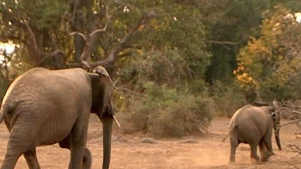 En Tanzania puedes ver elefantes en su habitat