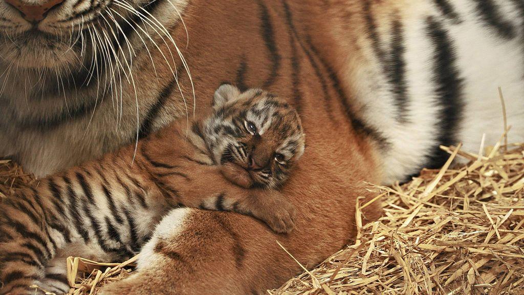 Cría de tigre del Woburn Safari Park de Reino Unido