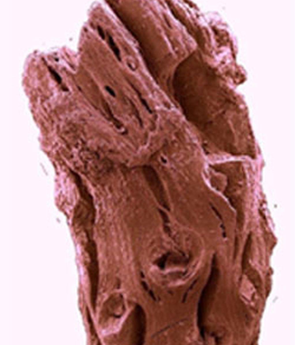Fósil pino