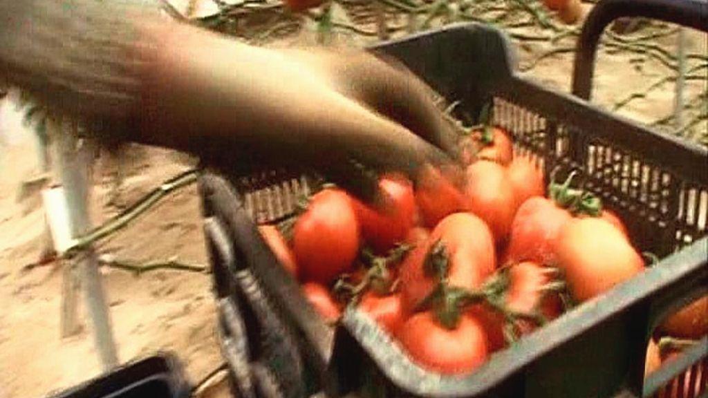 Comemos tomates en rama directamente de la planta en un invernadero de La Cañada (Almería)