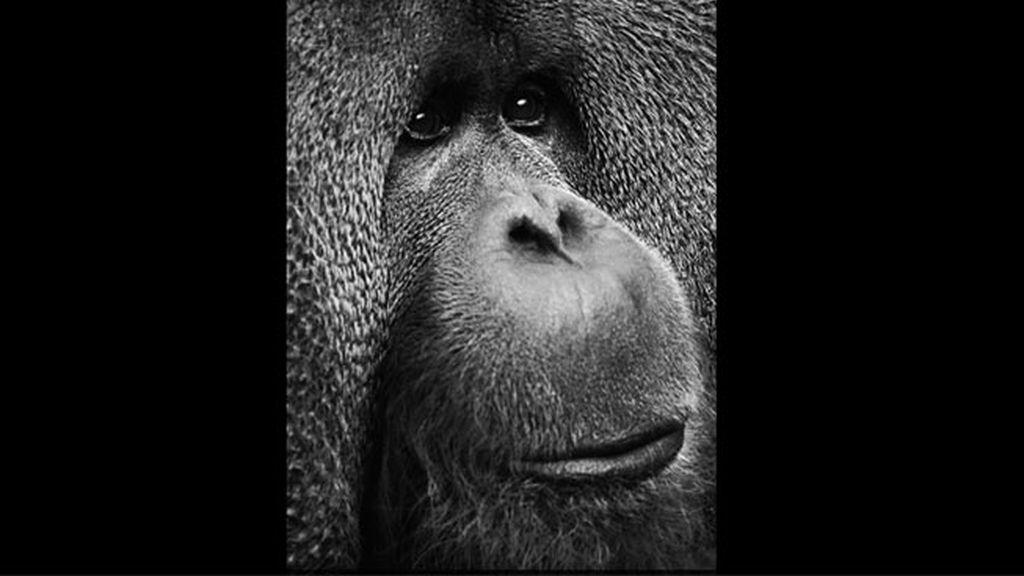 El orangután Rajang, por Sarah Kilshaw