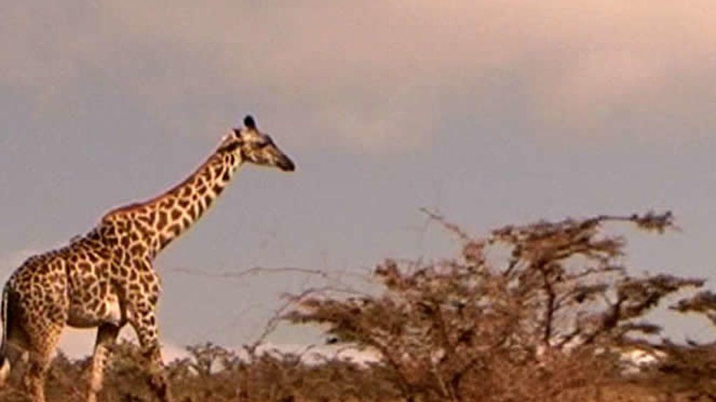 La jirafa es otro de los animales de los que se puede disfrutar en Tanzania