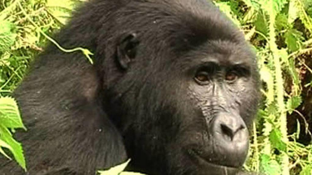 Orangutan en Uganda