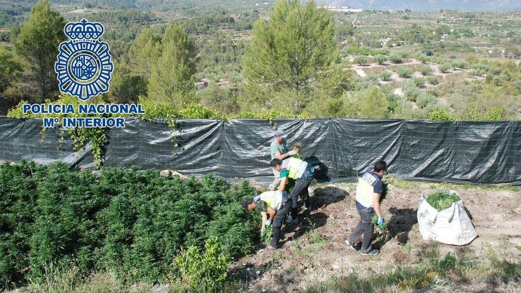 La Policía Nacional descubre una plantación de 3.143 plantas de marihuana en Alicante
