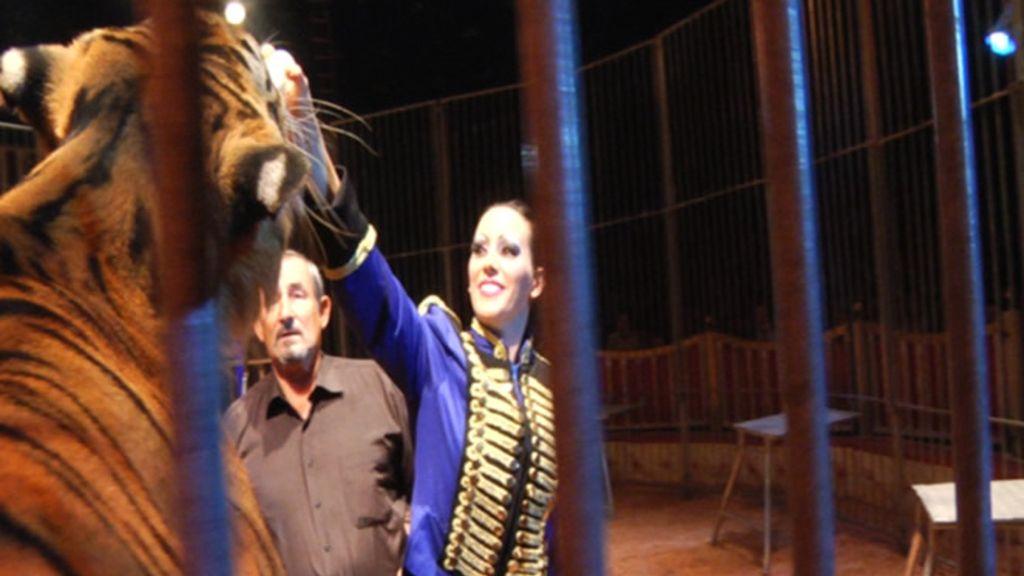 Los tigres, básicos en el mundo del circo