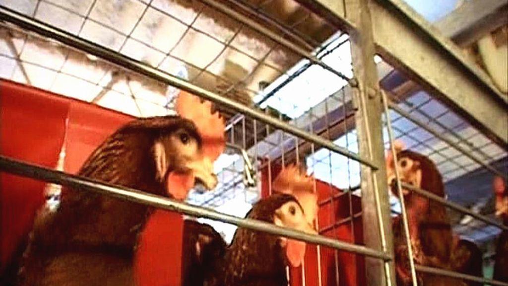 Comprobando cómo viven las gallinas ponedoras del nº3