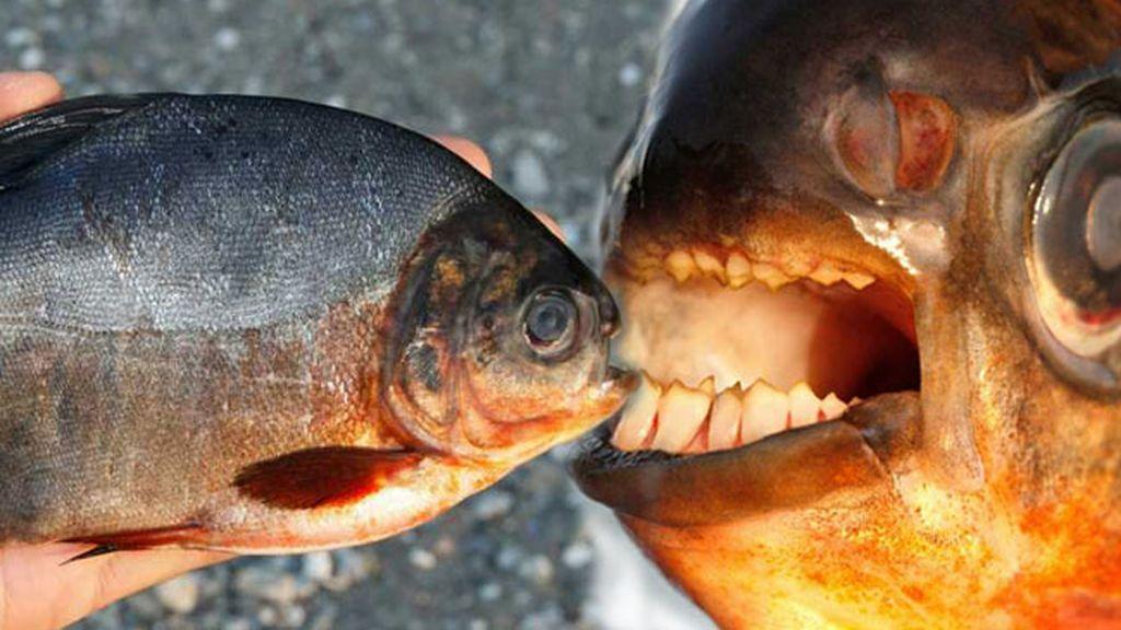 pez, pacu, piraña