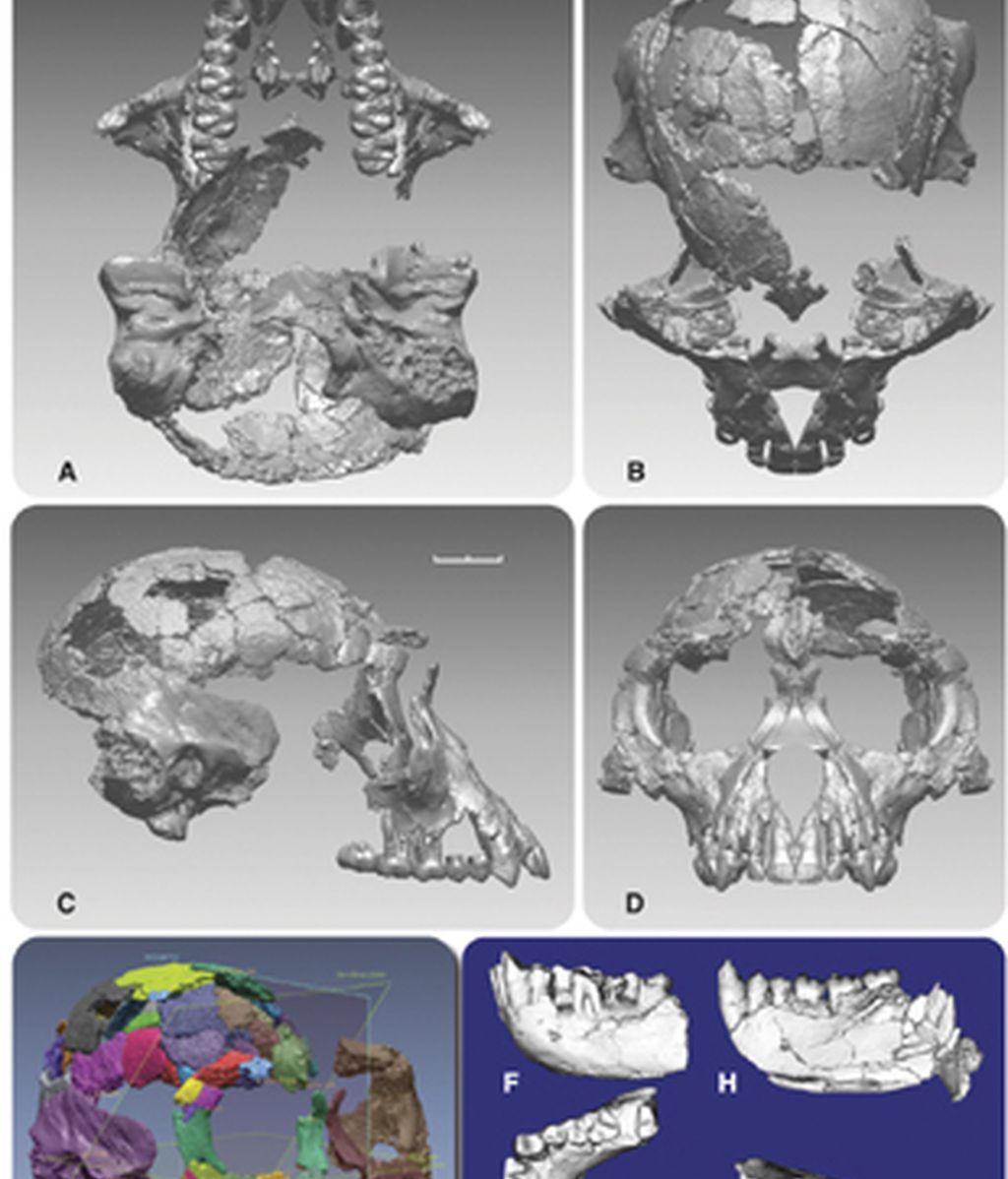Ardi, el antepasado más antiguo de la especie humana
