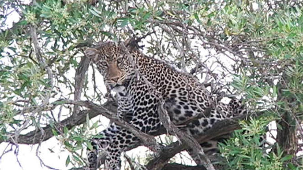 """El guepardo """"re-posando"""" en el árbol"""