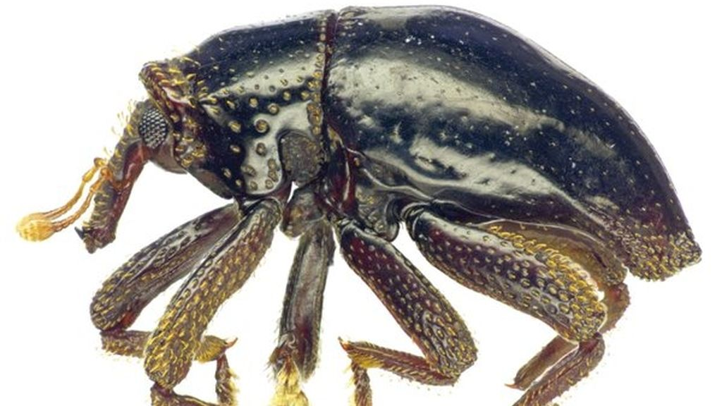Escarabajo Chewbacca