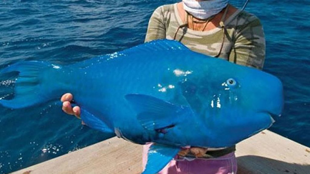 El pez papagayo azul