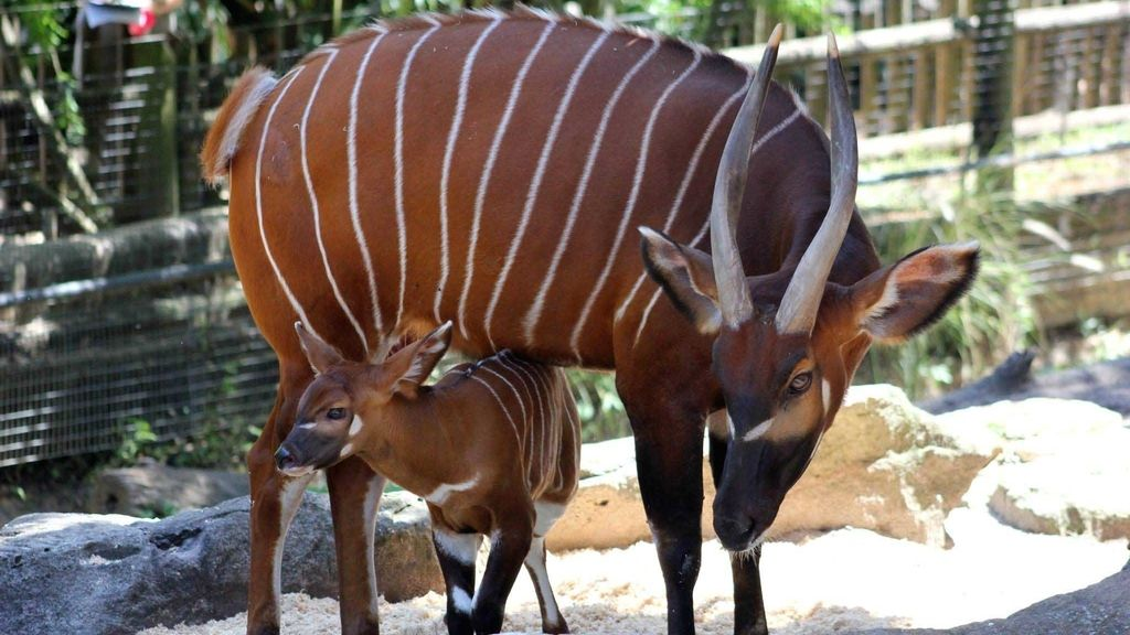 Una rara especie de antílope nacida en el zoo de Taronga
