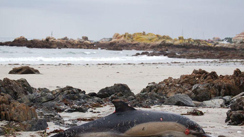 Ocho cetáceos mueren por el temporal