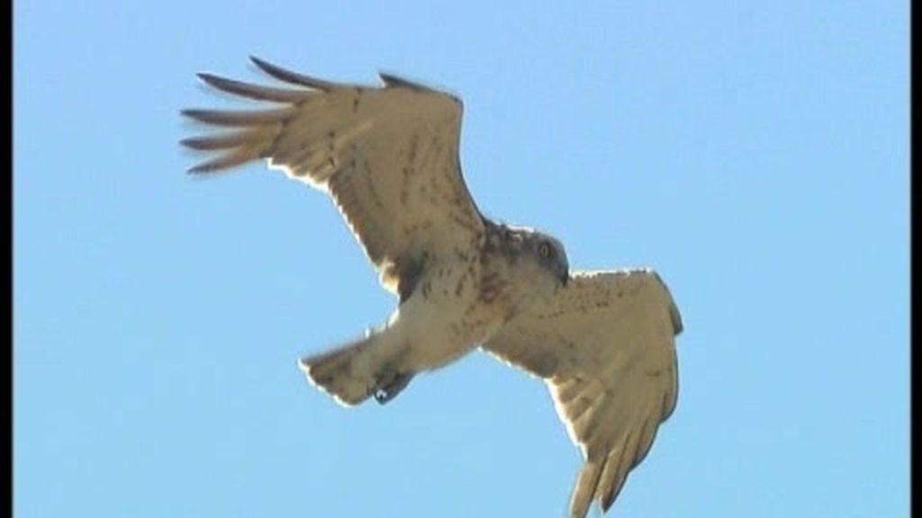 Las águilas culebreras huyen de la soledad