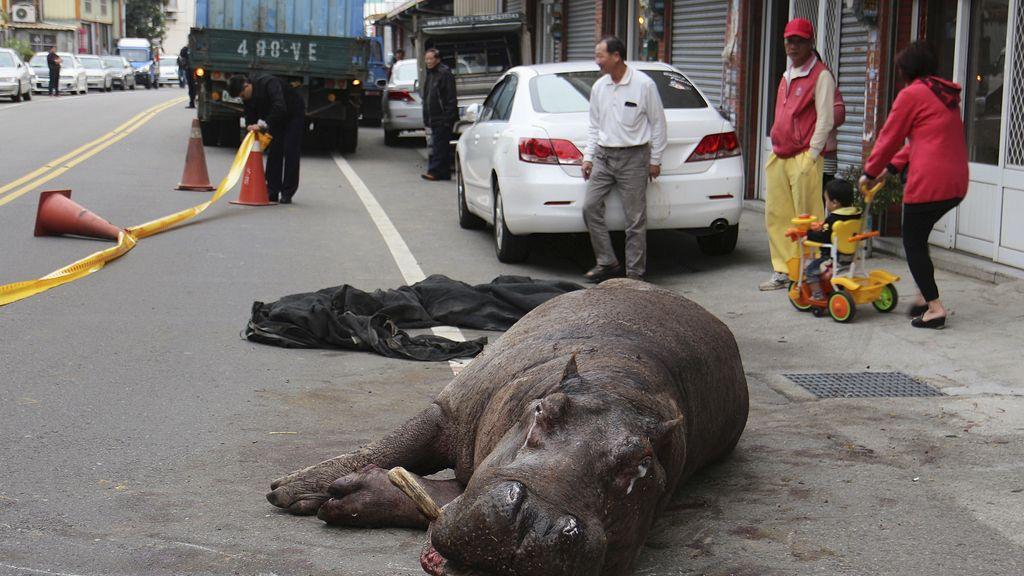 Hipopotamo en Taiwan