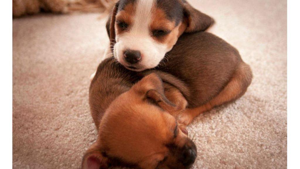 Cachorritos de emergencia