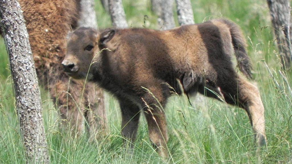 Cría de bisonte