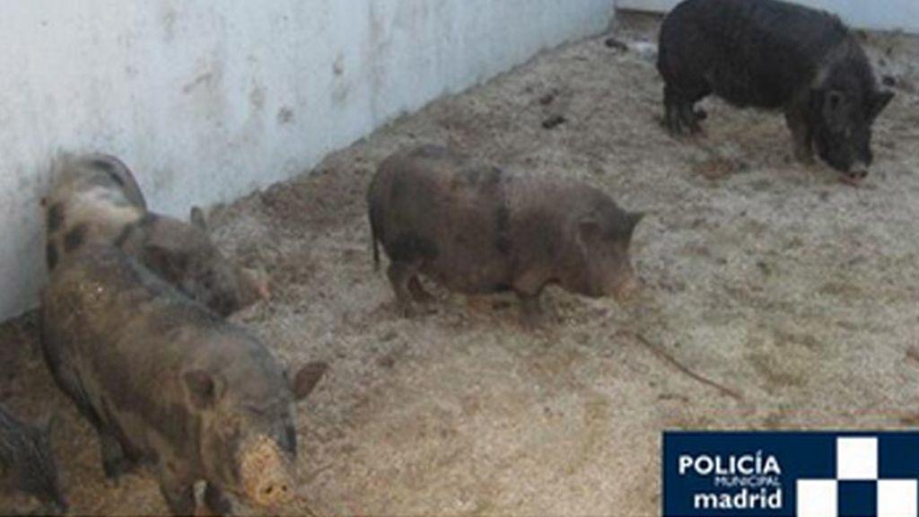 La Policía Municipal de Madrid captura doce cerdos vietnamitas por el Manzanares