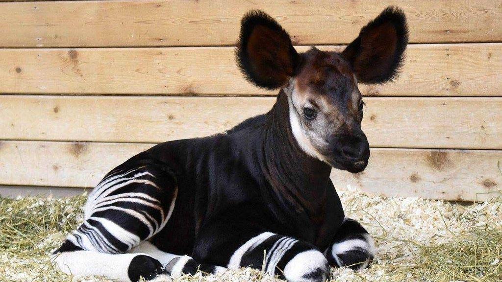 Un okapi nacido en EEUU en abril
