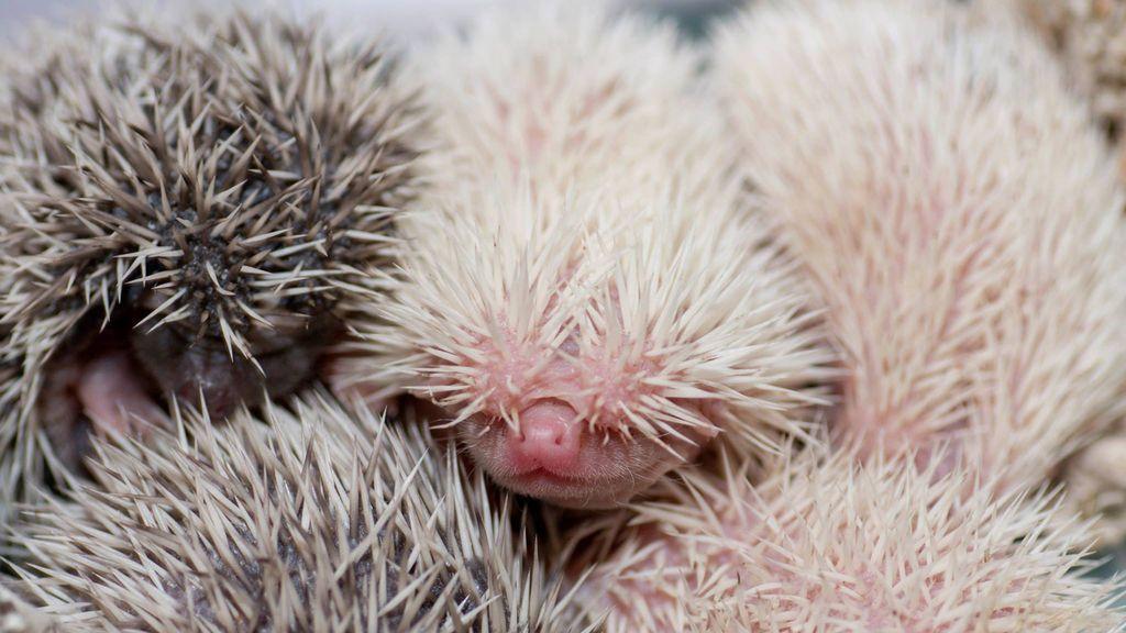 Erizos nacidos en el zoo de Denver en febrero