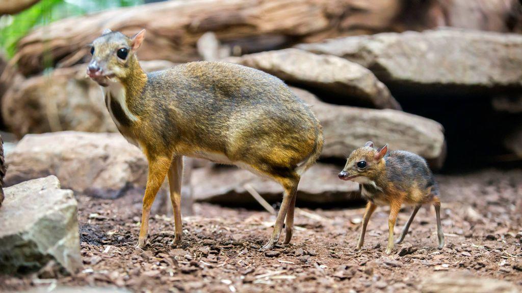Un ciervo ratón de Java nacido en los Países Bajos
