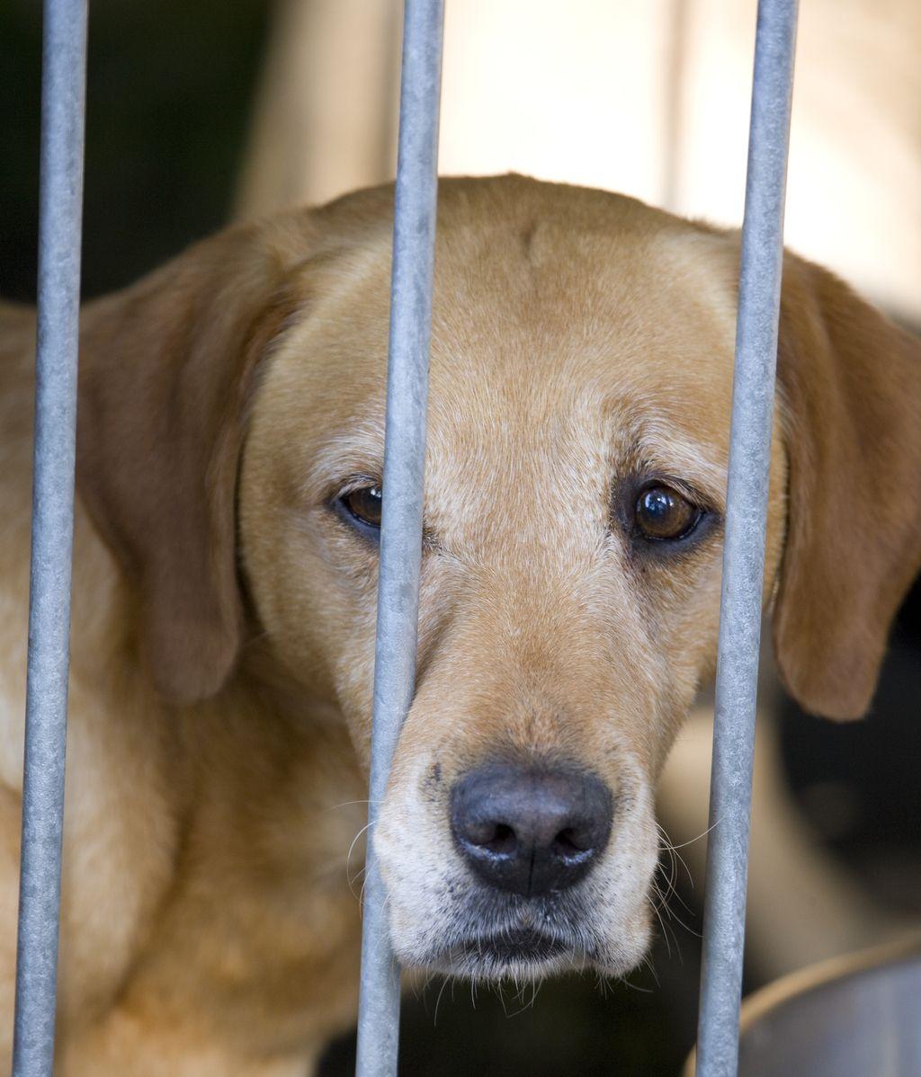 Labrador retrieve