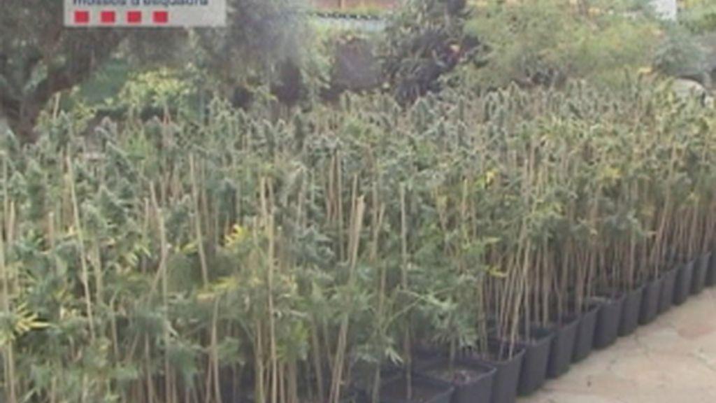 Localizado más de un millar de plantas de marihuana en un domicilio de Begues, en Barcelona