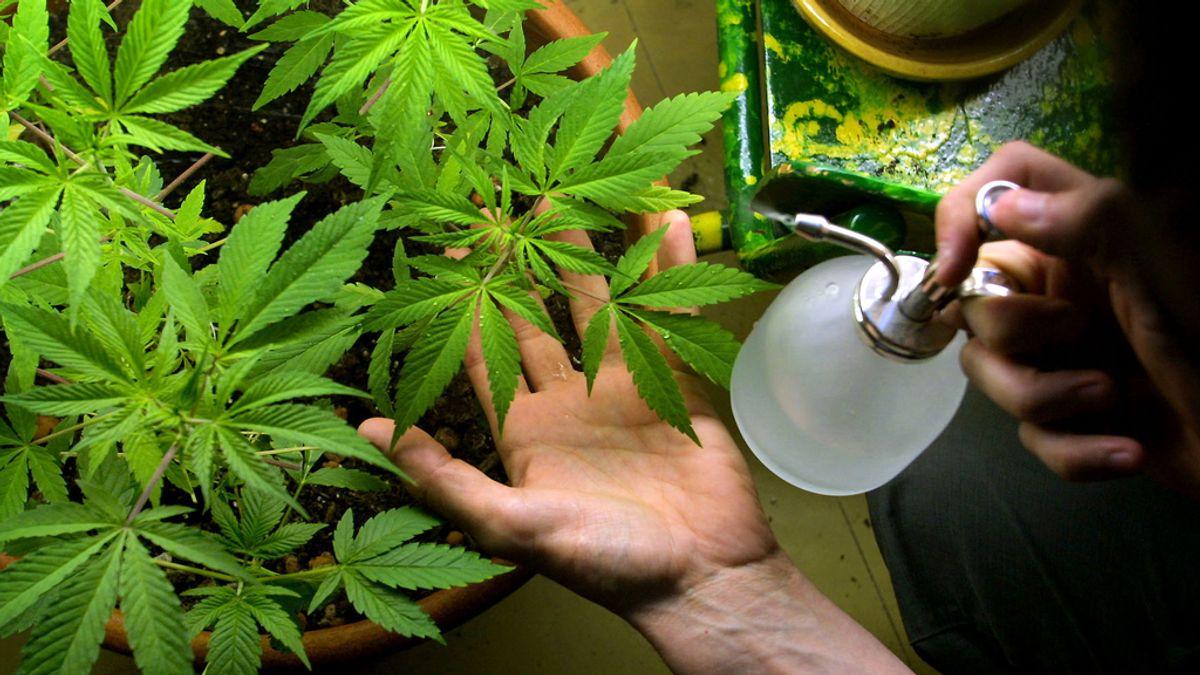 Una planta de cannabis
