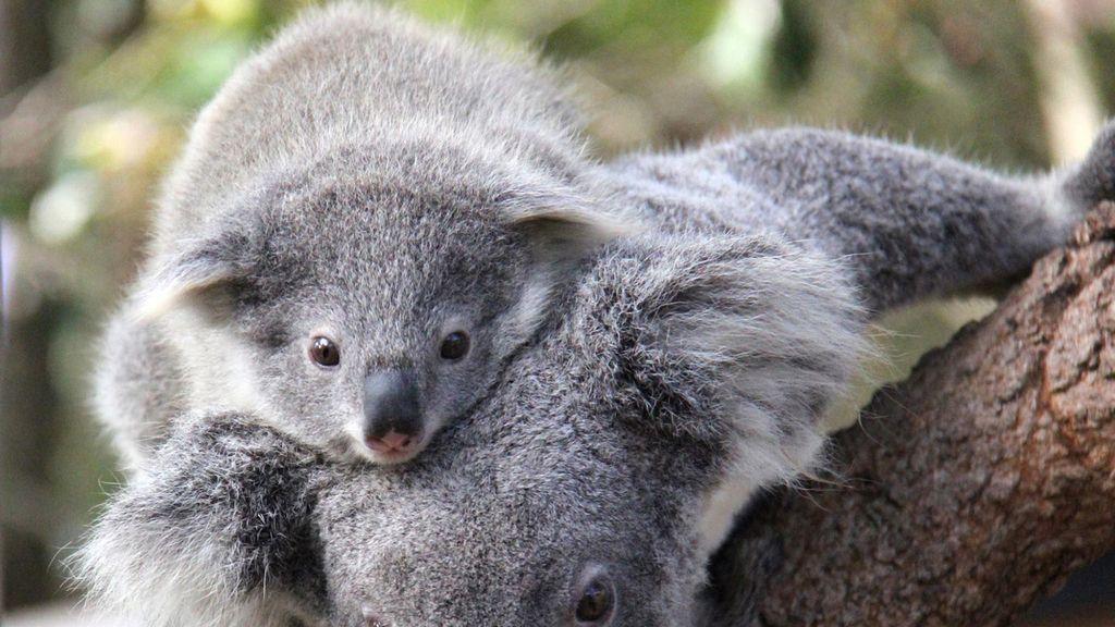 Cría de koala del zoo de Sidney