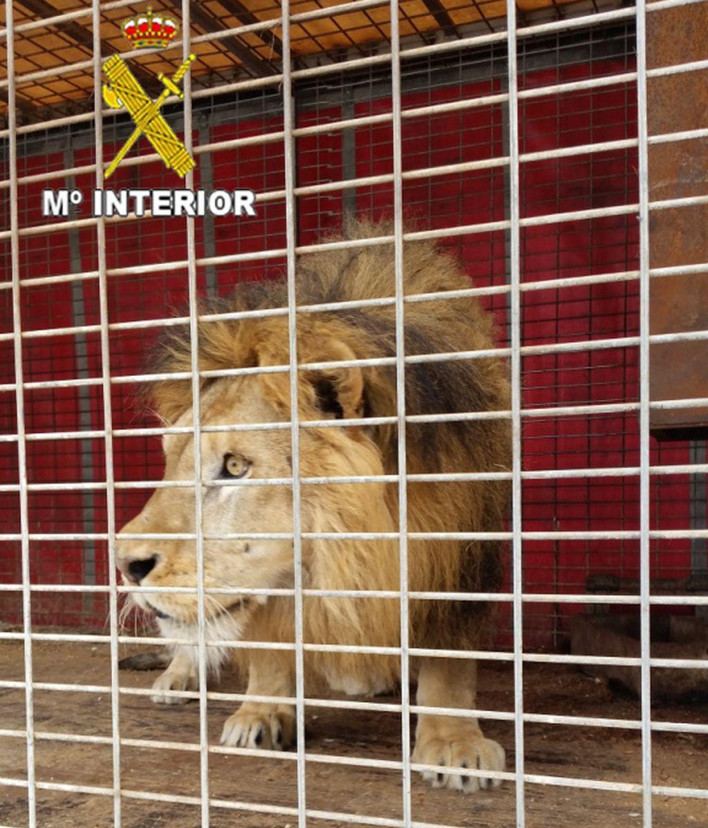 La Guardia Civil interviene 2 leones y 1 pantera en una operación contra el tráfico ilegal de animales