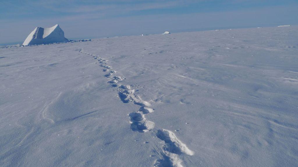 Huellas de oso polar...