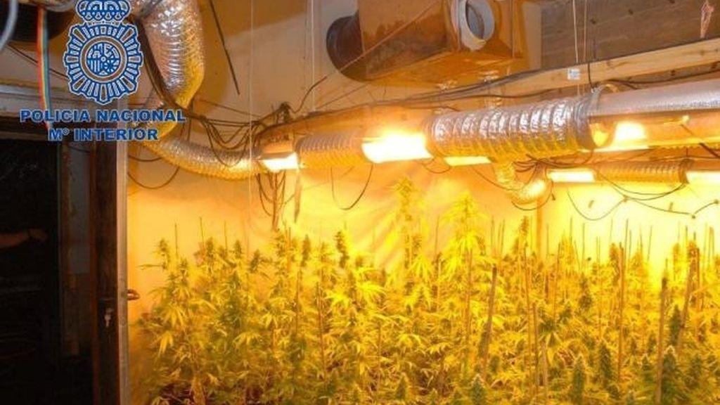 Desmantelan tres cultivos de marihuana con más de 2.300 plantas en Málaga