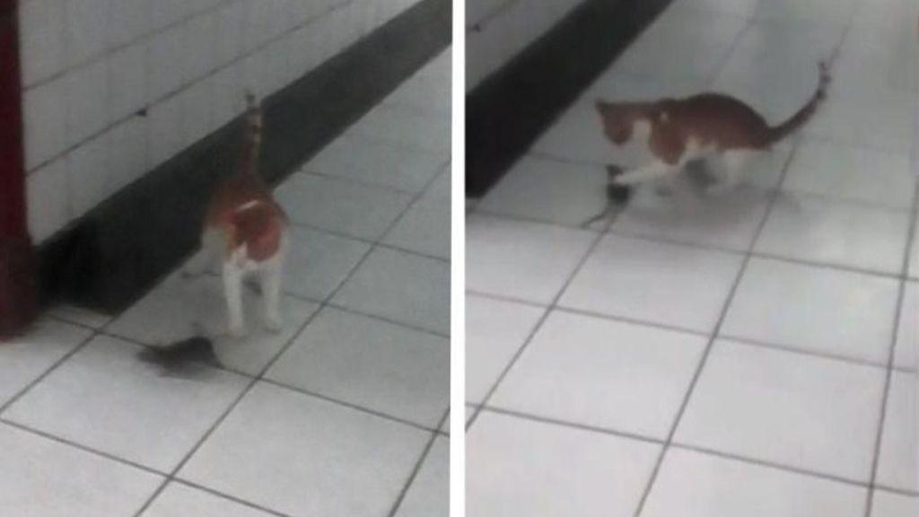 Gato cazando un ratón