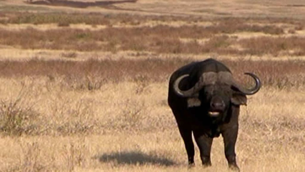 Un búfalo posa ante la cámara