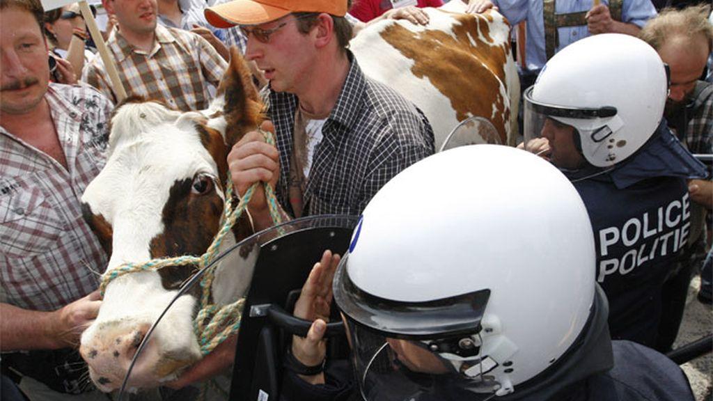 Cientos de ganaderos protestan por el precio de la leche en Bruselas