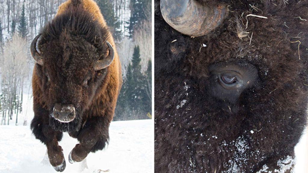 Un bisonte desbocado en Canadá