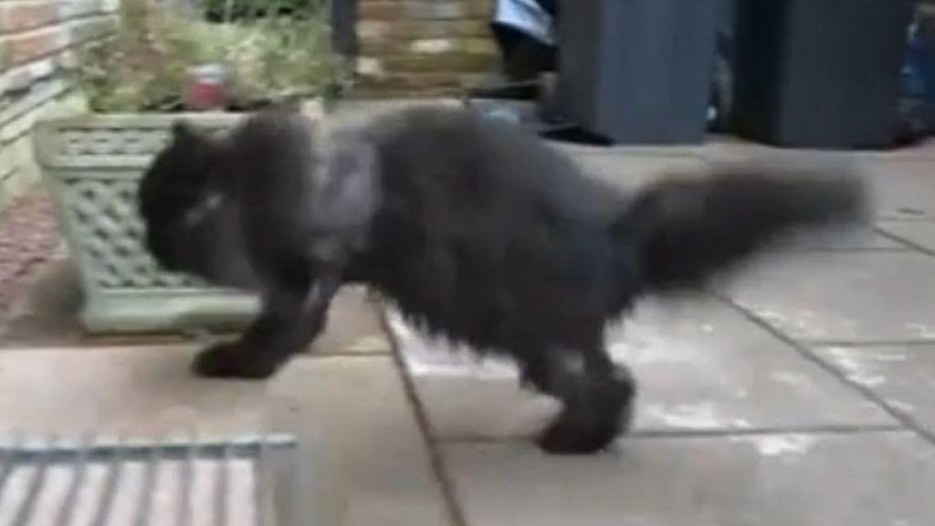 Caffrey, el gato de dos patas