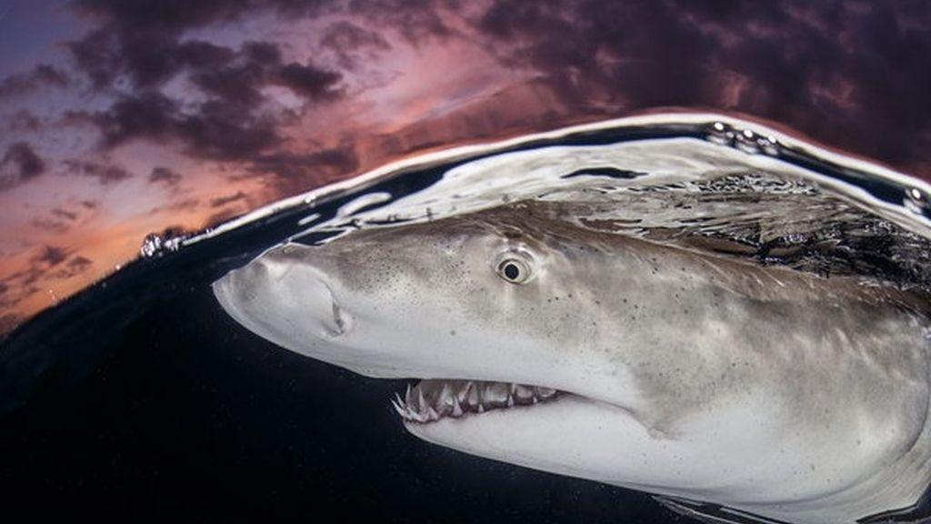 Tiburón limón en las Bahamas