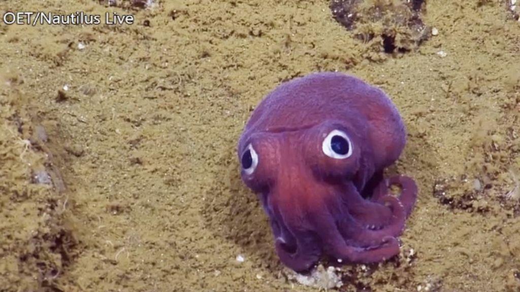 El calamar morado